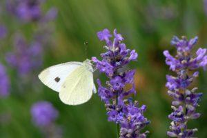 Bollenstreek: Kohlwiessling im Lavendelfeld. Foto Pixabay