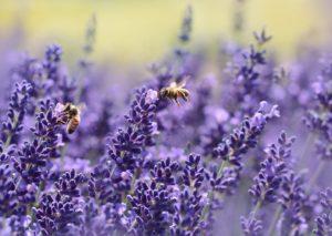 Bienen im Bollenstreek. Foto Pixabay