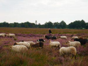 Balloerveld Drenthe.