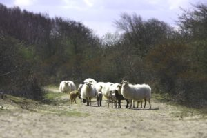 schapen in waterleidingduinen