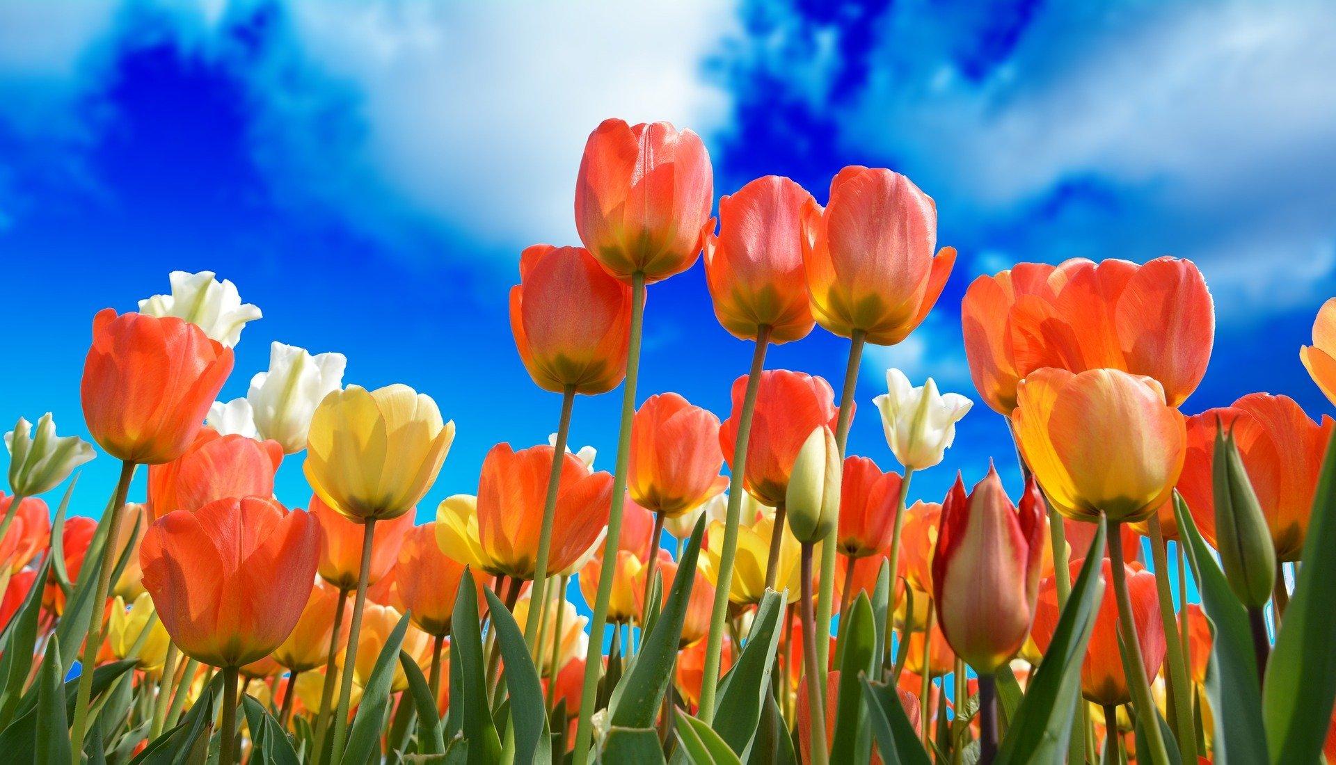tulpen aus holland bollenstreek